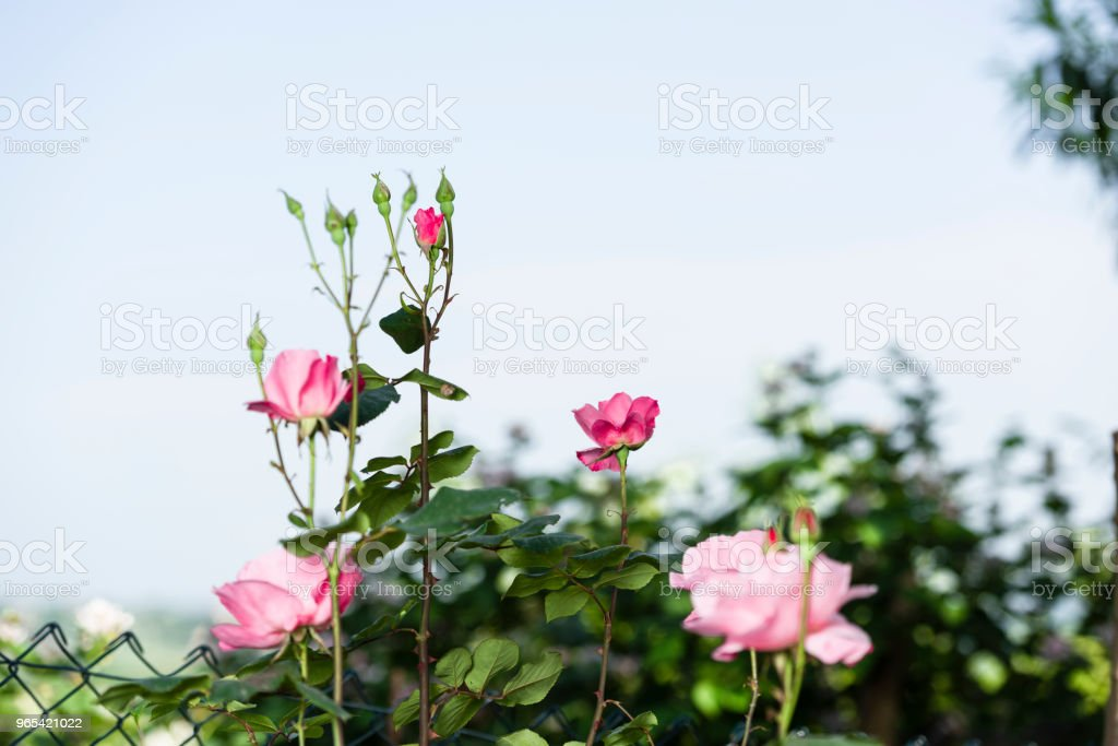 roses in the tree royalty-free stock photo