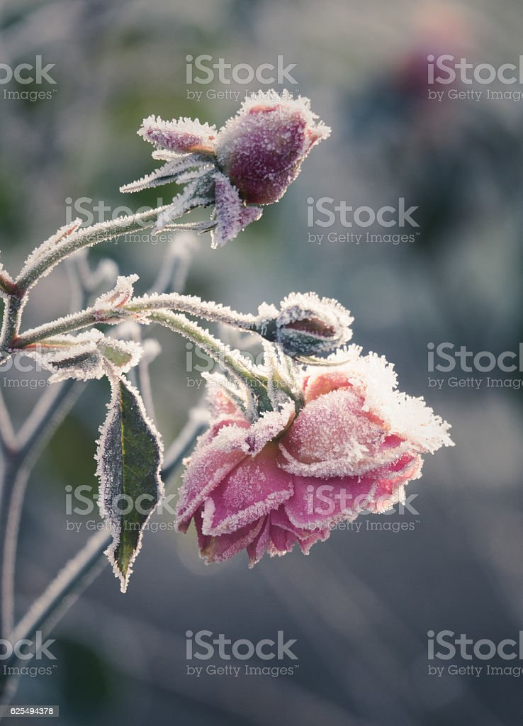 Roses In WInter stock photo