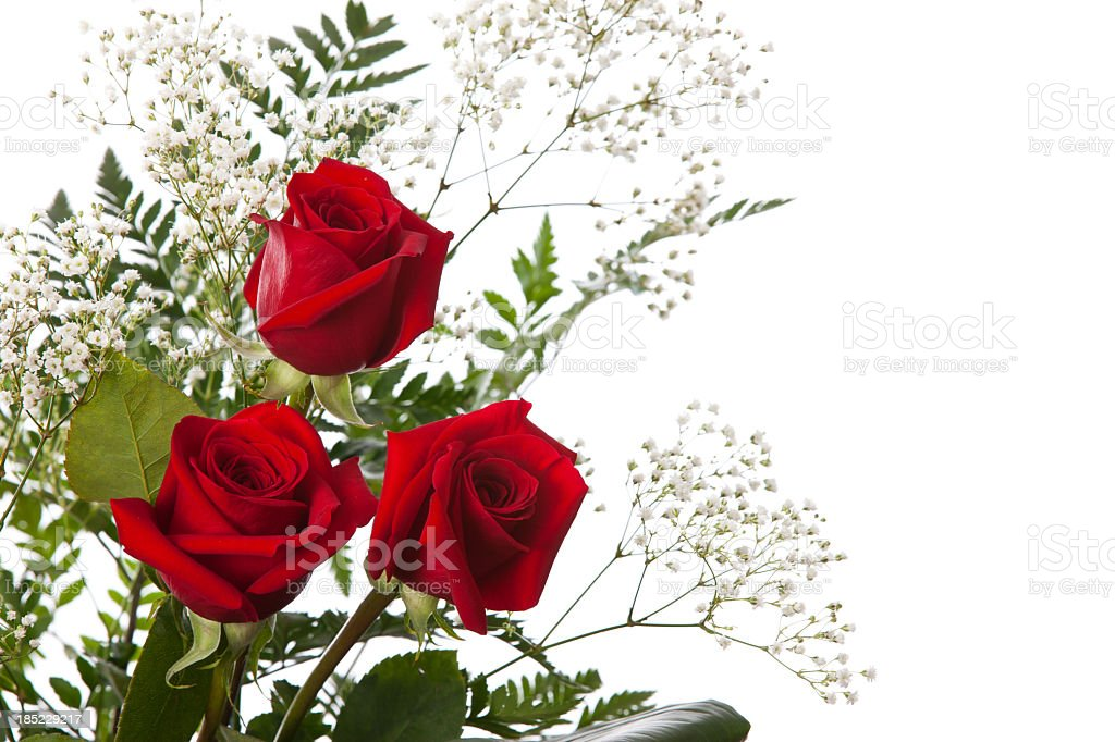 Roses isolated on white background royalty-free stock photo