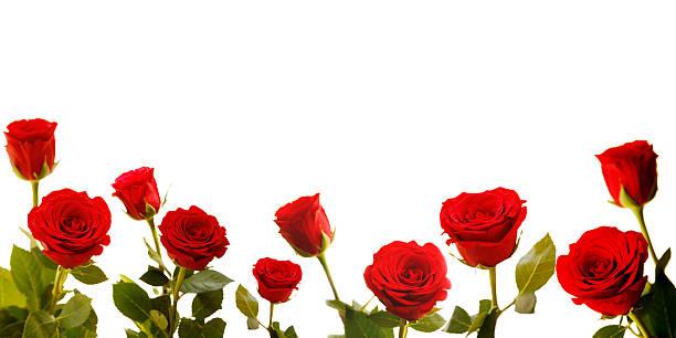 Roses lined along bottom of white background picture id157424365?b=1&k=6&m=157424365&s=612x612&w=0&h=jga1yzkqzejpipqgu9i rxcr9tjmwox6yni5nr4m6uu=