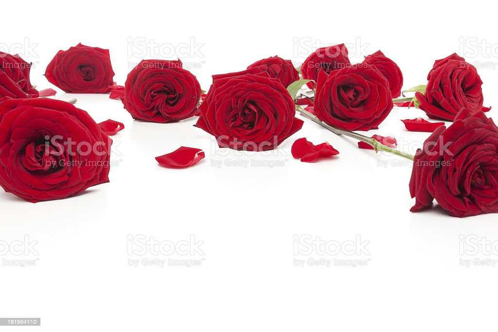 Roses lying down royalty-free stock photo
