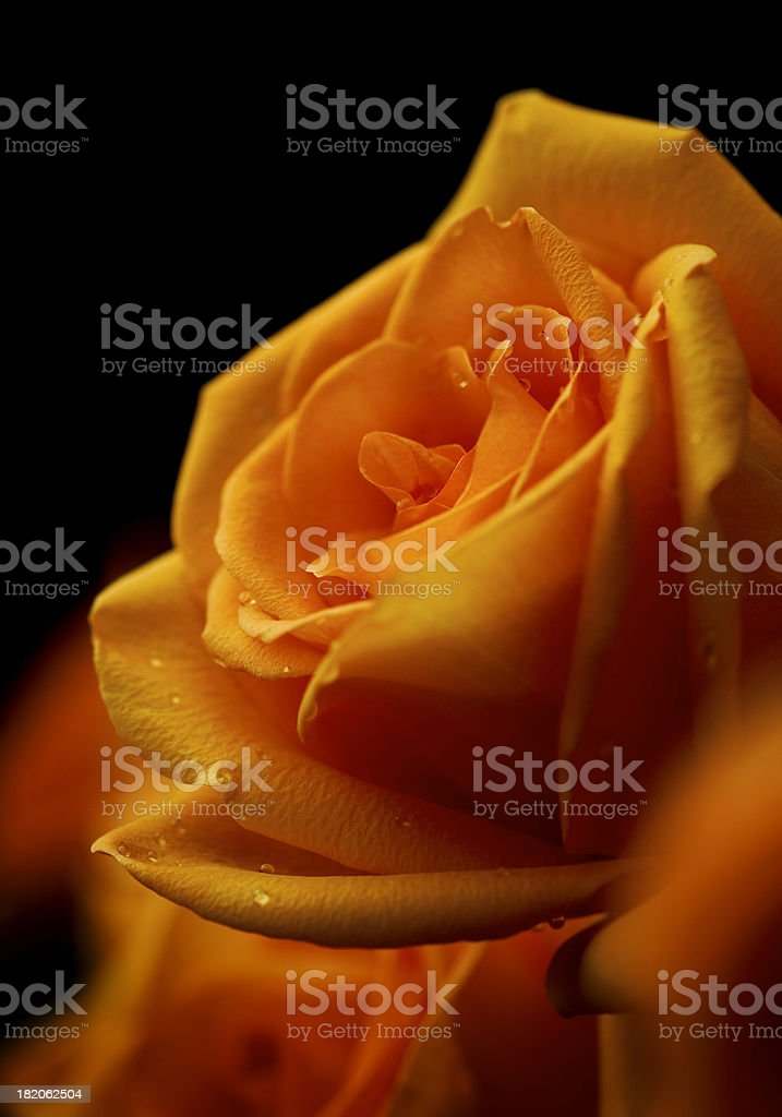 Roses Macro royalty-free stock photo