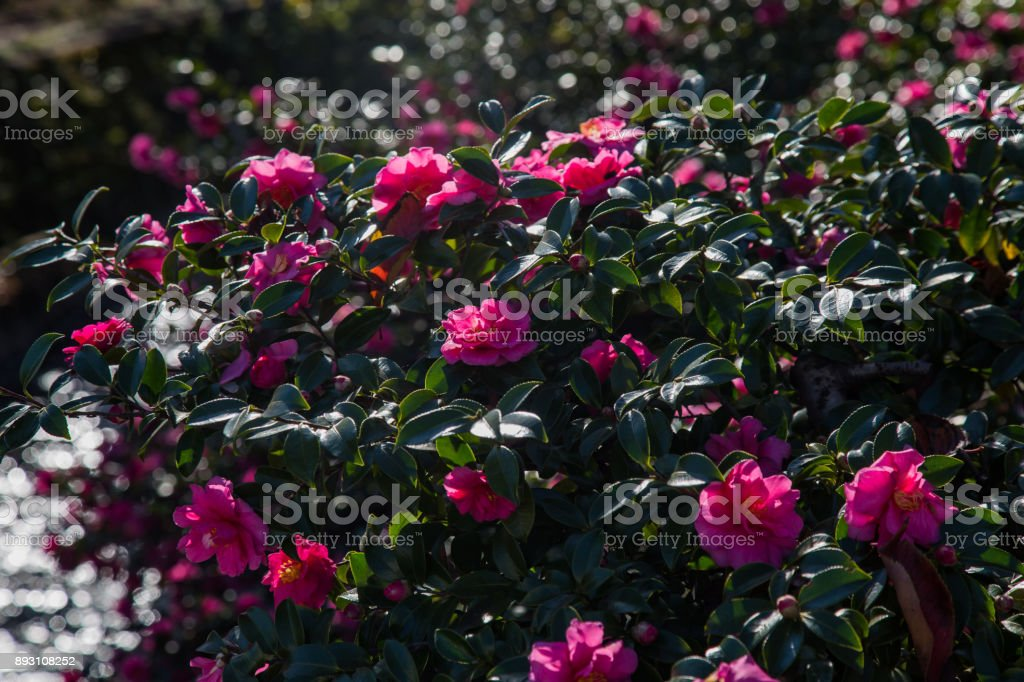 Roses of winter, Camellia stock photo