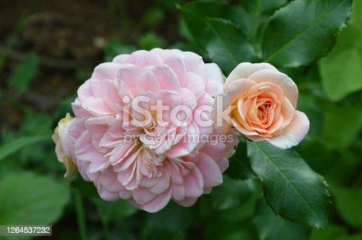 Roses on a bush in a garden. Belgrade, Serbia