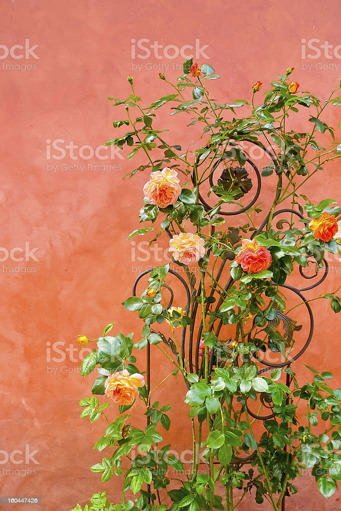 Roses on a wall royalty-free stock photo