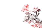 istock roses on a white background 1044828534