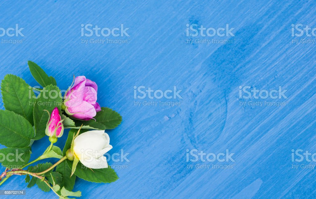 Roses on an blue wooden background. Copy space royalty-free stock photo