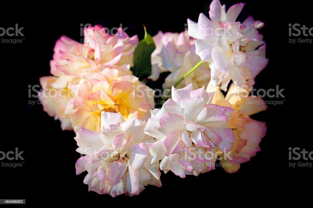 Roses on black background stock photo