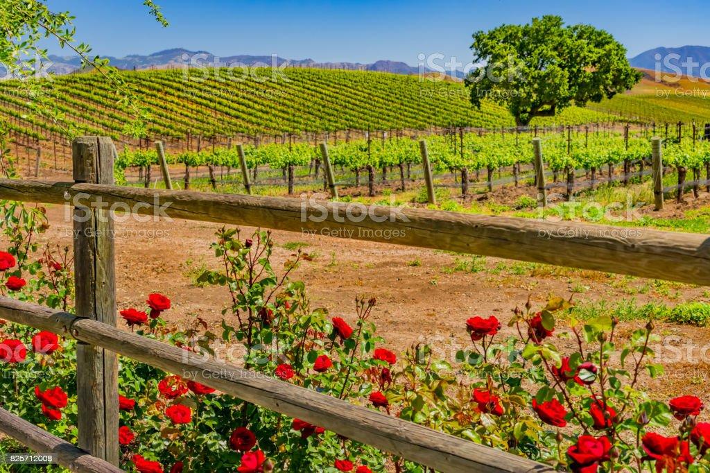Roses on fence at Santa Barbara vineyard, CA(P) stock photo