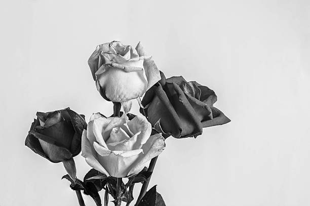 roses on the white background. - hochzeitsblumen trocknen stock-fotos und bilder