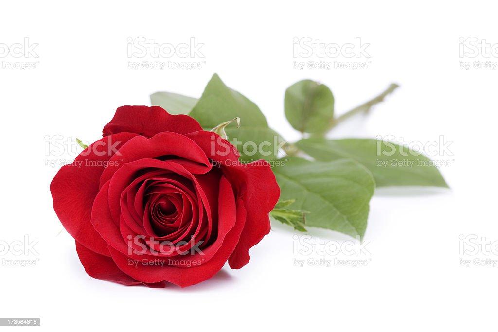 Roses on White stock photo