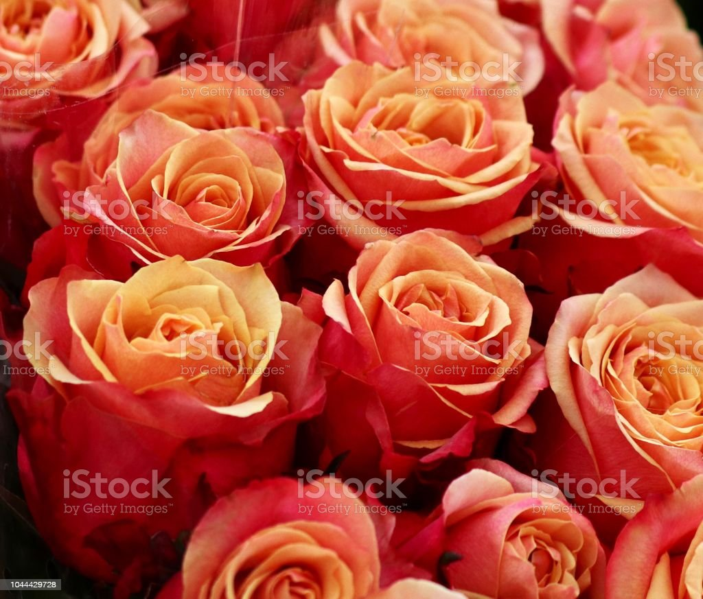Roses oranges stock photo