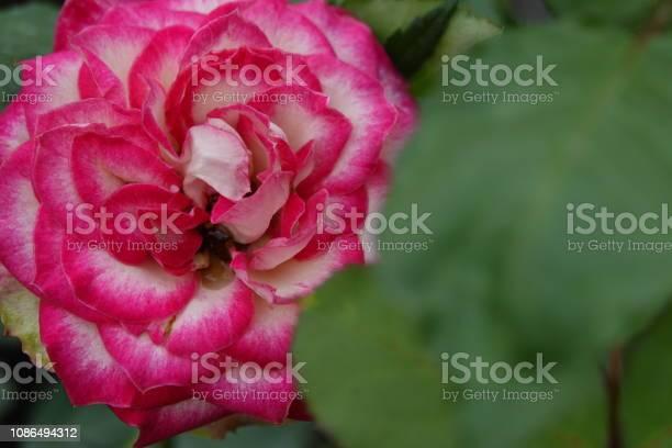 Roses picture id1086494312?b=1&k=6&m=1086494312&s=612x612&h=7ewbtblwqzvvxn9 c0lr0v2mikgkxn8qymvvji7xpqe=