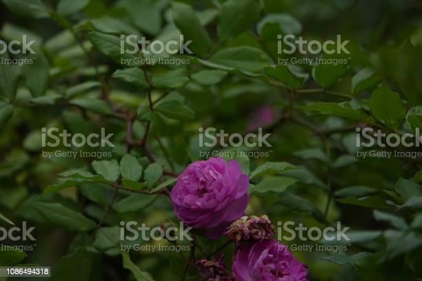 Roses picture id1086494318?b=1&k=6&m=1086494318&s=612x612&h=hurnm58dj duxqd q6pzn4dvo k8  xukpbshgveli4=