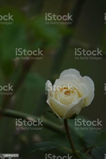 Roses picture id1086494320?b=1&k=6&m=1086494320&s=612x612&h=hq0rjtv gw t3gkgkg lv2hnhg8sc5kr3kcdvefsbvw=