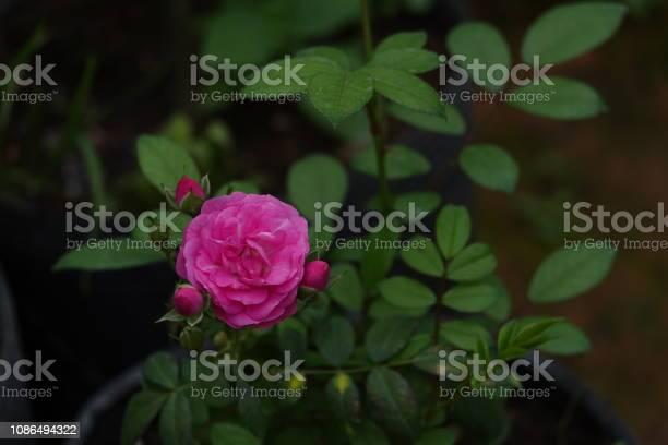 Roses picture id1086494322?b=1&k=6&m=1086494322&s=612x612&h=vzc8hnqze2ykgu9tcaspdwp9pba4ccvh6sp94ykqguk=