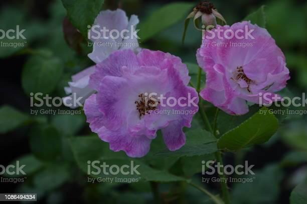 Roses picture id1086494334?b=1&k=6&m=1086494334&s=612x612&h=sye7qurj 30qyekqoc6bg07adewgliq6je hhjmd2r0=
