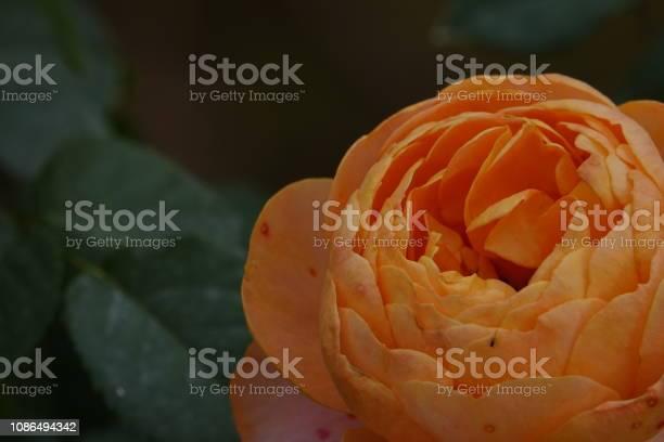Roses picture id1086494342?b=1&k=6&m=1086494342&s=612x612&h=sfb lkzm9n78osdarg x q2z6gg8gl9kspenxb p3v4=