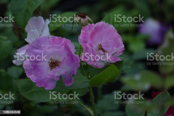 Roses picture id1086494346?b=1&k=6&m=1086494346&s=612x612&h=k5jjq4m2zba91v eyth7kjp d130lreabtg ebuhcyq=