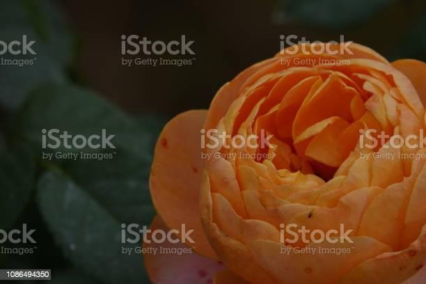 Roses picture id1086494350?b=1&k=6&m=1086494350&s=612x612&h=nx0mg5h6dpsj7ly9os7wjdaadjd80xeslo ftf1facq=