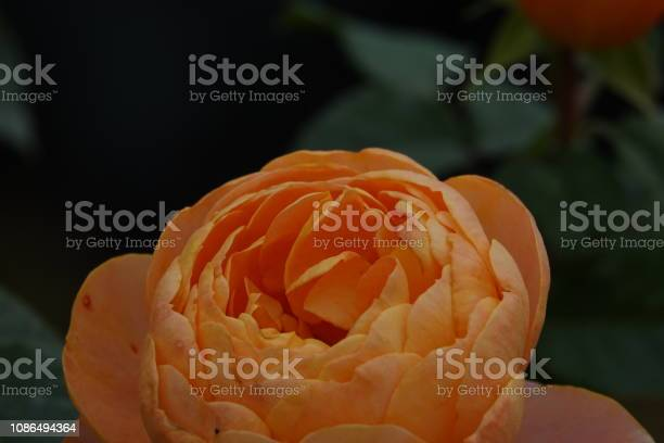 Roses picture id1086494364?b=1&k=6&m=1086494364&s=612x612&h=ojjv882kuheyl9ip fxl2hui5wdav4bzk7e9cvjkuvm=