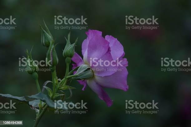 Roses picture id1086494368?b=1&k=6&m=1086494368&s=612x612&h=dvd fhgkb4fz5u8yucauwzy38lp2ffrf0dqqavxwl q=