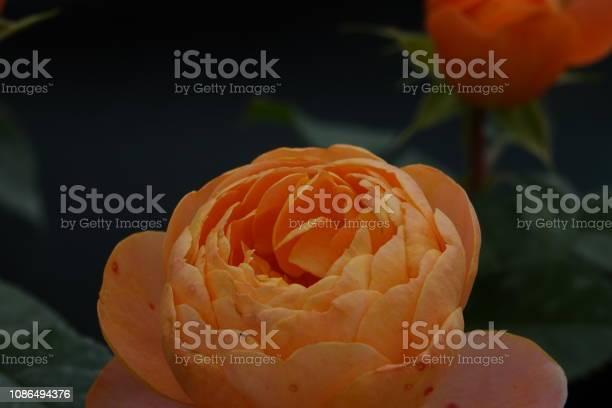 Roses picture id1086494376?b=1&k=6&m=1086494376&s=612x612&h=yau1wa5pm3wxtq0nzqiran0hznogxzf4cinrclv52ys=