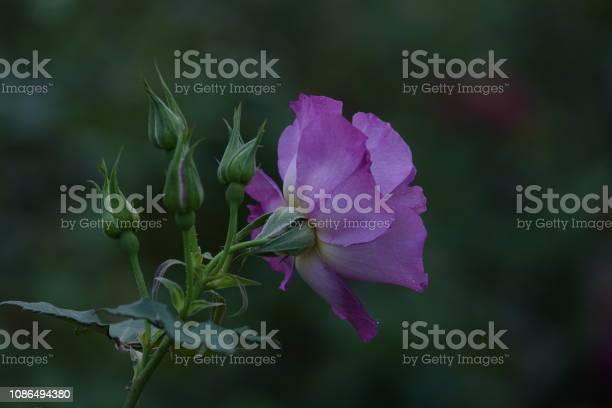 Roses picture id1086494380?b=1&k=6&m=1086494380&s=612x612&h=7ey96ibo64g1xtbbghpw299kjdfazxnrkef3ntkuic4=