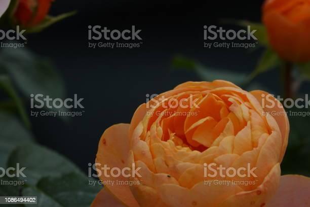 Roses picture id1086494402?b=1&k=6&m=1086494402&s=612x612&h=en3if2o5s52058euyvskxz03fzf s9a72vlnsnaicdi=