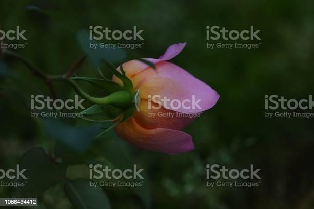 Roses picture id1086494412?b=1&k=6&m=1086494412&s=612x612&h=2djvzxfvaiknd0b 4u6fzkqatsxllo 4kf80 n40ai4=