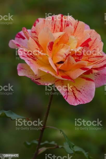 Roses picture id1086494420?b=1&k=6&m=1086494420&s=612x612&h=jurgwebcqr0xlpqe4vuxtnrghg8 xdsh34cwa5ge3mg=