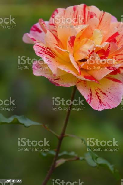 Roses picture id1086494432?b=1&k=6&m=1086494432&s=612x612&h=0jtd7sek8bobupzxrpgrk2iuljhwxslweoosfeinn7q=