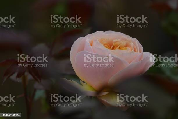 Roses picture id1086495450?b=1&k=6&m=1086495450&s=612x612&h=9cp61jg7q6u m f5ihxf4u6a0q6gvqyffr1welnlius=
