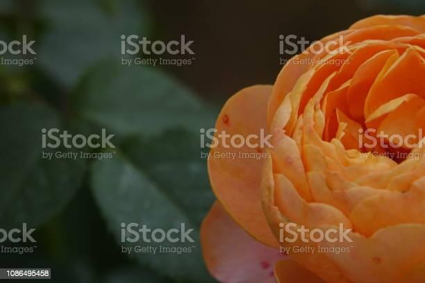Roses picture id1086495458?b=1&k=6&m=1086495458&s=612x612&h=0wuby93tz2my6fce5sx45bxv1qycslkkbcbmwbx un4=