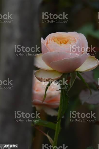 Roses picture id1086495460?b=1&k=6&m=1086495460&s=612x612&h=wcbyrfbta0j7ii96lwnme4spdzgzt6dnjszzpn76dyg=