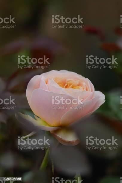 Roses picture id1086495658?b=1&k=6&m=1086495658&s=612x612&h= l2kenwel7bpbtzjuvft 4yjawcgwq78b pwpjoyh7o=