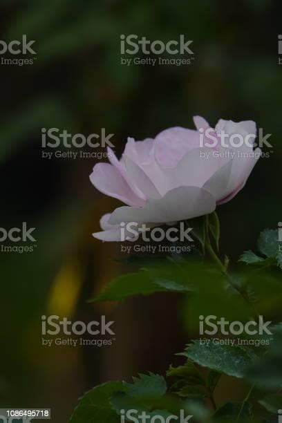 Roses picture id1086495718?b=1&k=6&m=1086495718&s=612x612&h=r3rgsoso6mcah8g0escwbcnktjbl01bszjfe88evxwe=