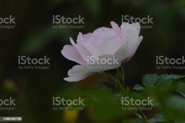 Roses picture id1086495756?b=1&k=6&m=1086495756&s=612x612&h=jr4c0nqdbyxjznyi7kn27udsmndeanyqqj1764ge5g8=