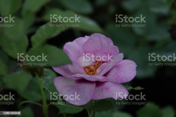 Roses picture id1086495946?b=1&k=6&m=1086495946&s=612x612&h=alnmw5t4ekatix6xpgqq1 hqkzgnrg6h8gzbsxovlpe=