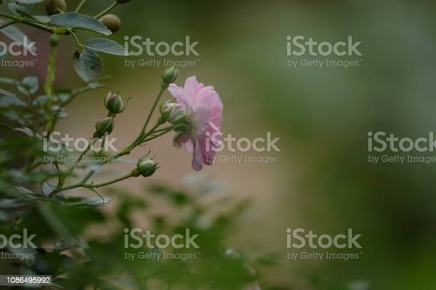 Roses picture id1086495992?b=1&k=6&m=1086495992&s=612x612&h=8nz8bqydmbd5qea5vr8rhuivaqv9x6srhsfqkram9pe=