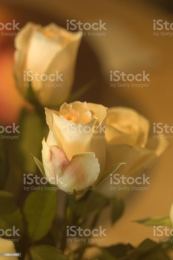 Roses royalty-free stock photo