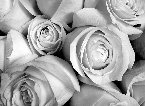 Royalty Free Black And White Rose Pictures Images And Stock Photos
