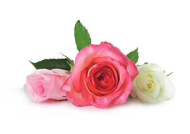 Roses picture id485470011?b=1&k=6&m=485470011&s=612x612&w=0&h=bejif tpqeyyrql8elrug pnpoivwknm3gvvtiddf2e=
