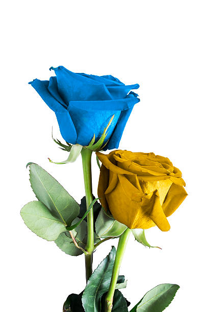 Royalty Free Single Yellow Rose Pictures Images And Stock Photos