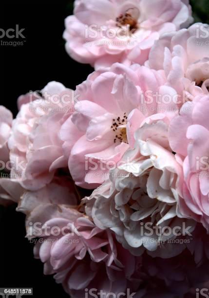 Roses picture id648511878?b=1&k=6&m=648511878&s=612x612&h=k64ro6do0zopbsyuwmo3tjqi5w pb04xwpzzac7tppm=