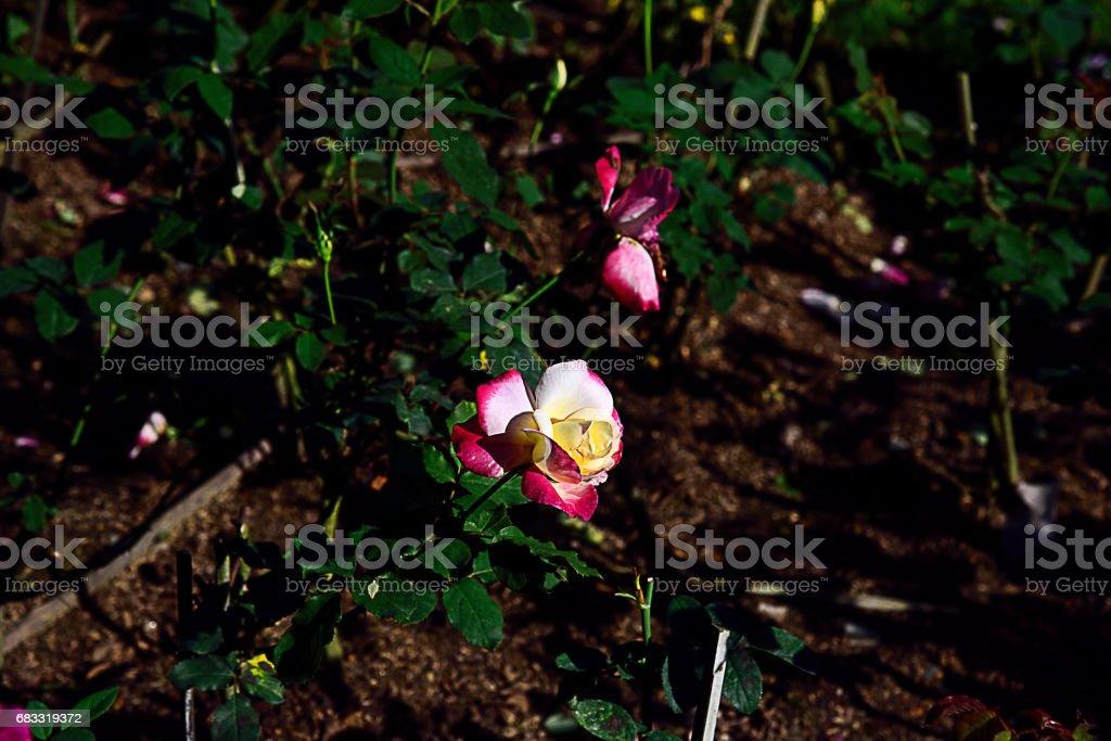 Roses zbiór zdjęć royalty-free