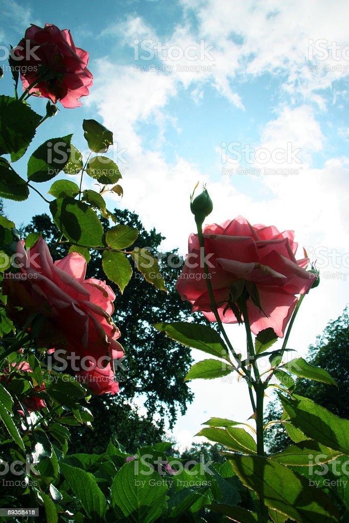 Roses royaltyfri bildbanksbilder