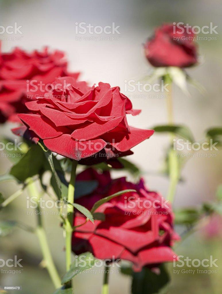 Роз Стоковые фото Стоковая фотография