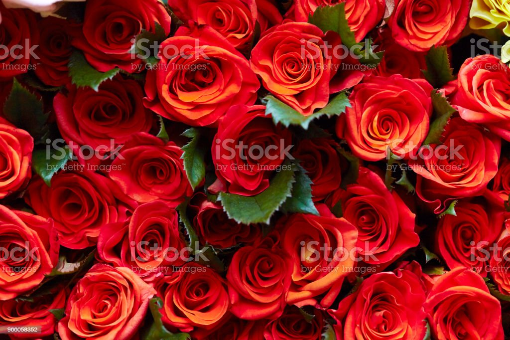 Roses - Royalty-free Backgrounds Stock Photo