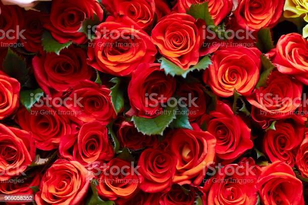 Розы — стоковые фотографии и другие картинки Без людей